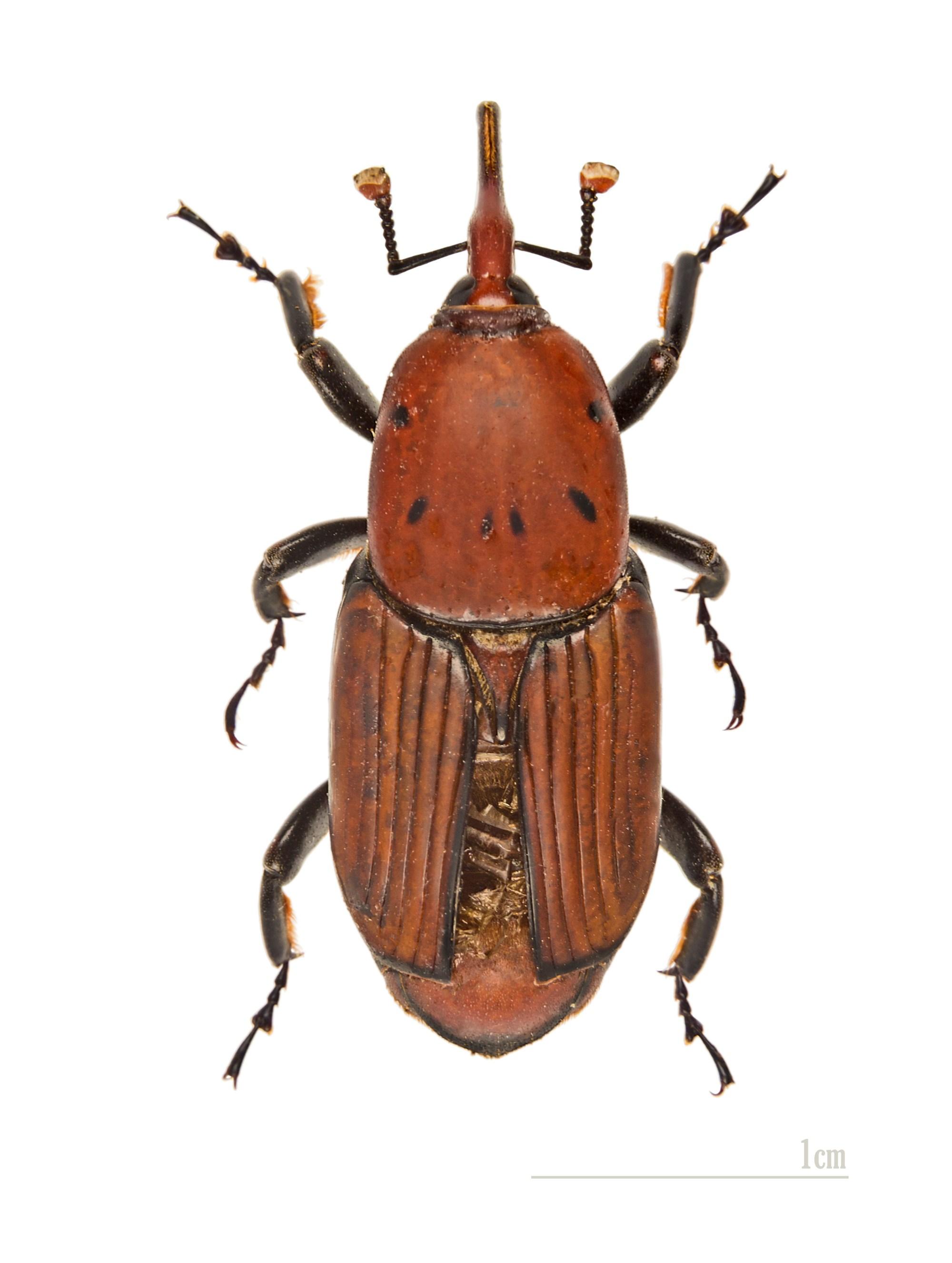 hight resolution of rhynchophorus ferrugineus