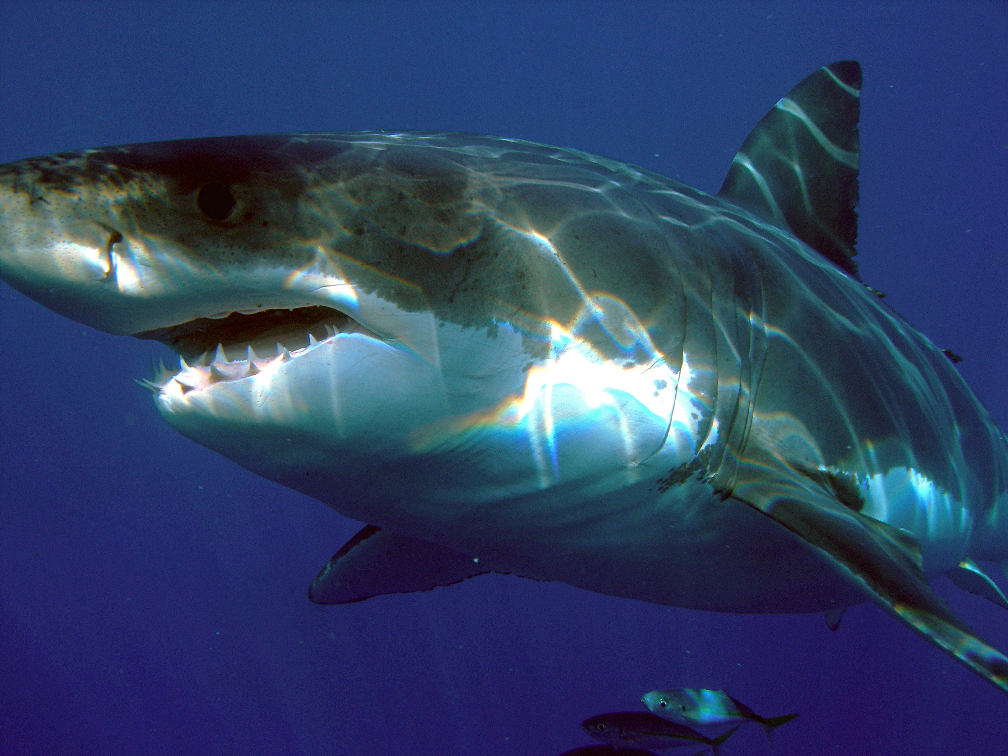 Great White Shark from Wiki.