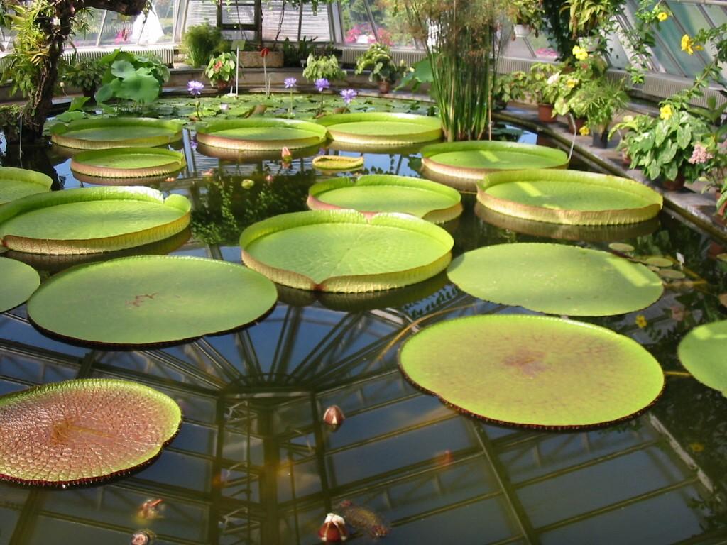 Datei Botanischer Garten Berlin Viktoria Seerosen 2 – Wikipedia