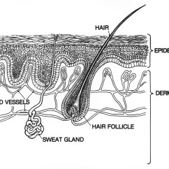 Paramecium Diagram Blank How To Wire Electric Fence Skin Structure Unlabeled Digestive System