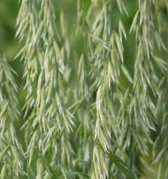 noire d epinal an ancient oat variety  [ 3072 x 2304 Pixel ]