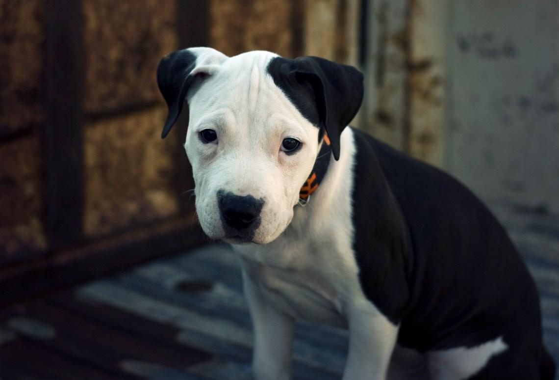 American Pit Bull Terrier Pup Pitbull Attacks Dog