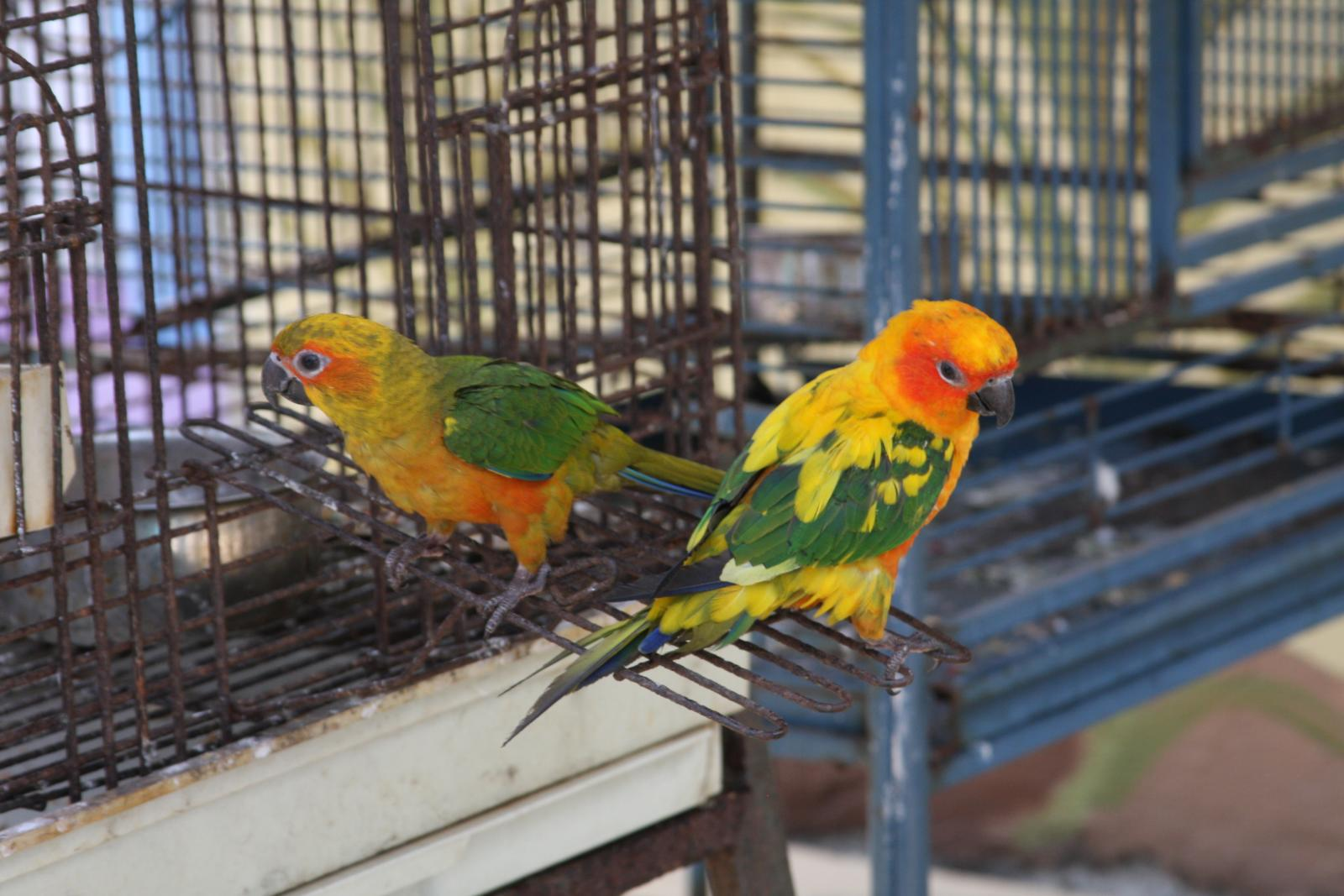 Sun Parakeets (also known as Sun Conures) in c...