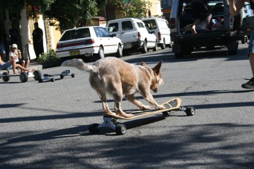 Cattle dog skating