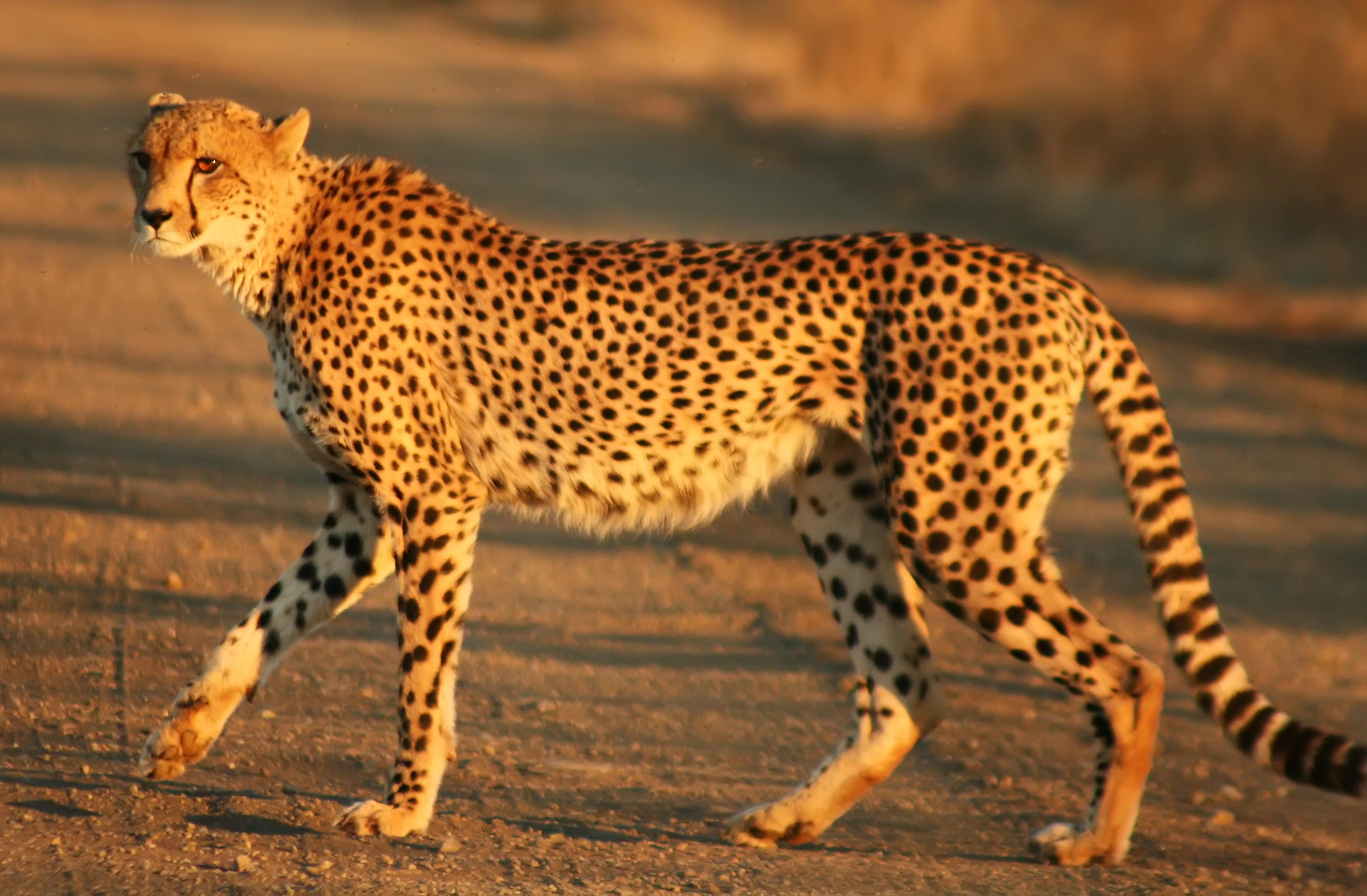 cheetah wikipedia