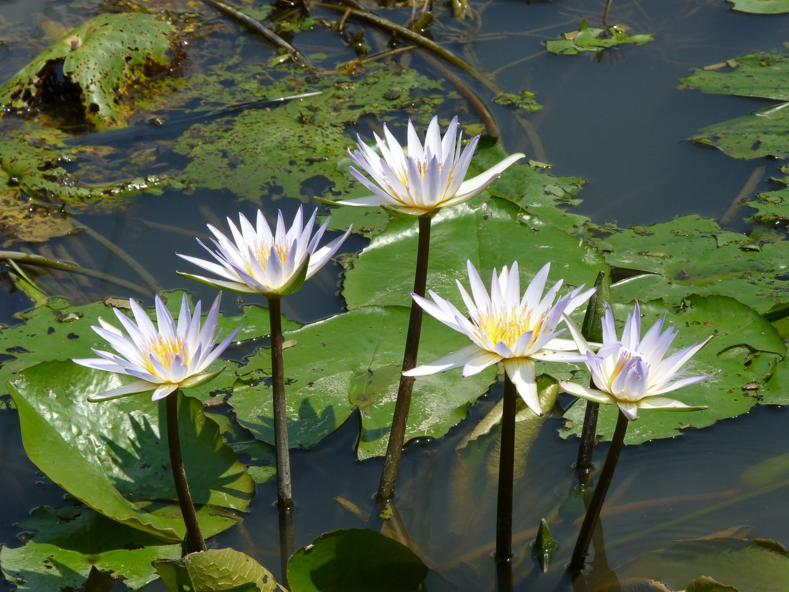 hight resolution of labeled diagram of water lily