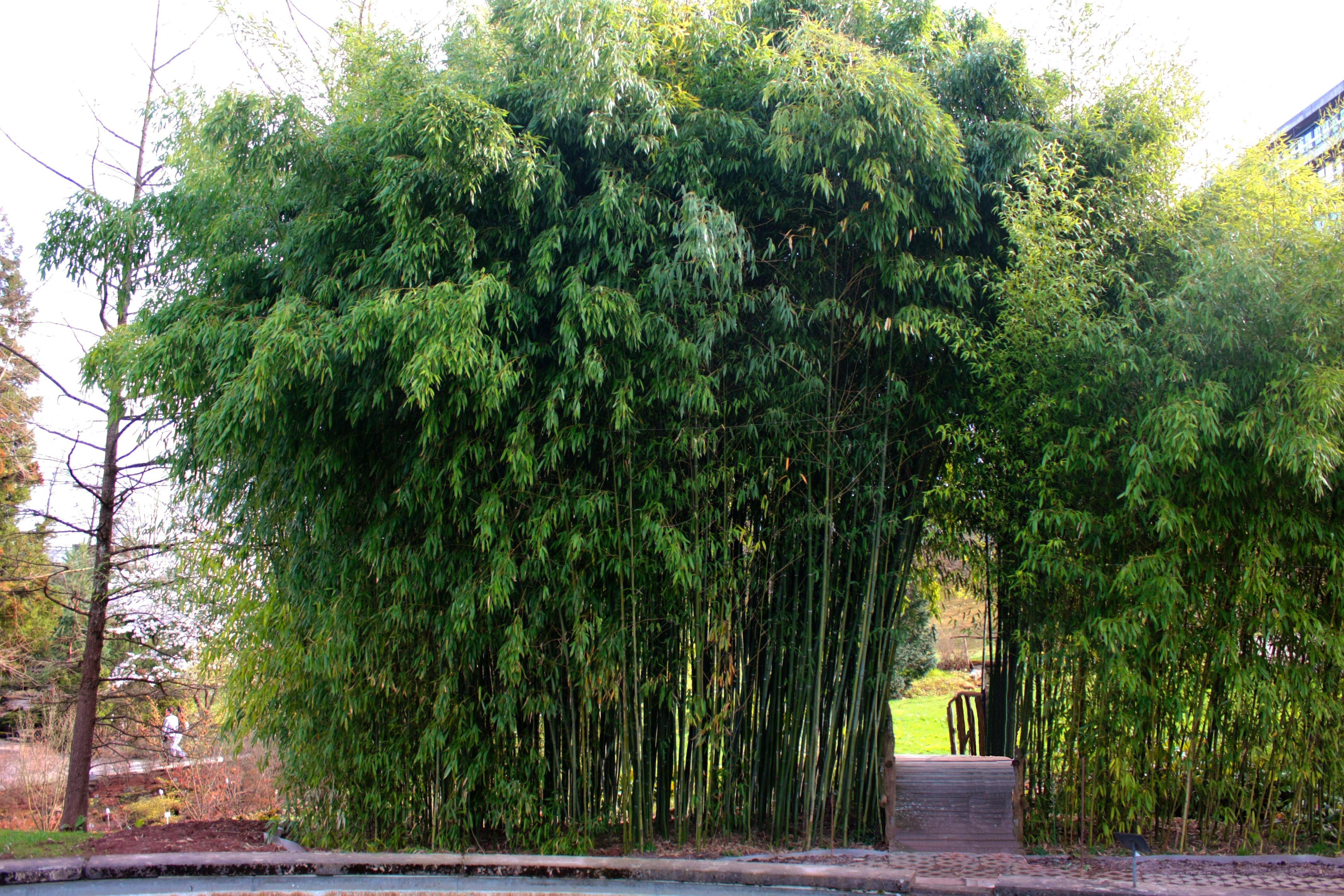 Bambus Richtig Pflanzen Sichtschutz Pflanzen Die Grune Wand 11880