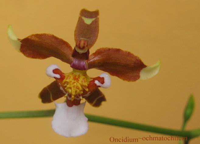 'Oncidium ochmatochilum'