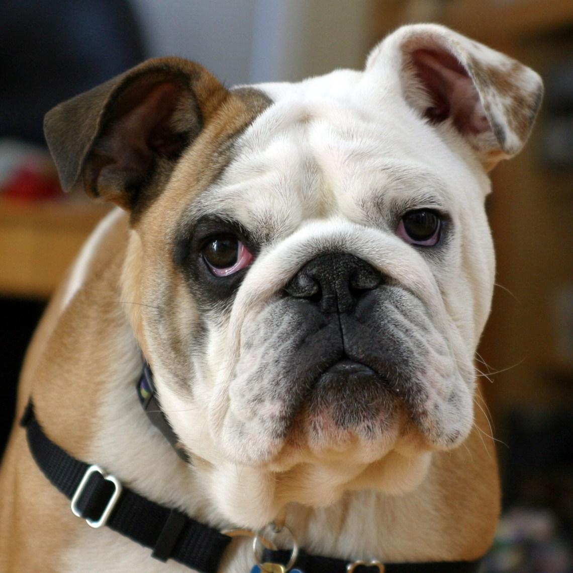 Clyde The Bulldog Girl Pitbull Dogs