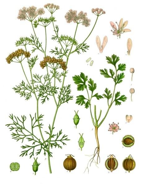 Guide Des Plantes Sauvages Comestibles Et Toxiques Telecharger : guide, plantes, sauvages, comestibles, toxiques, telecharger, Coriandre, Wikipédia