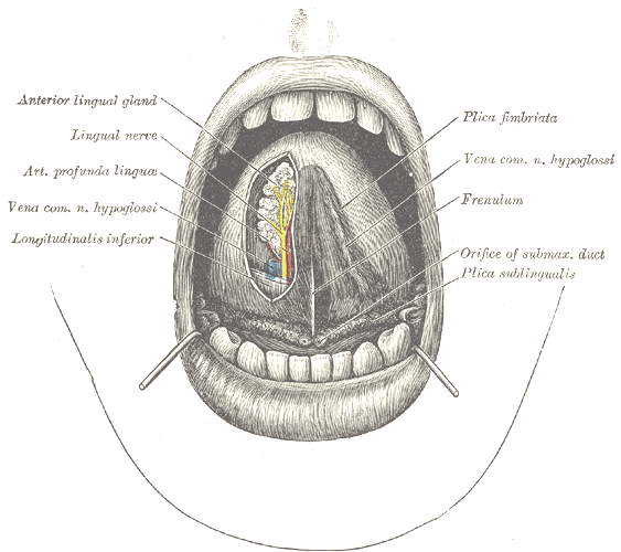 under tongue diagram under the tongue