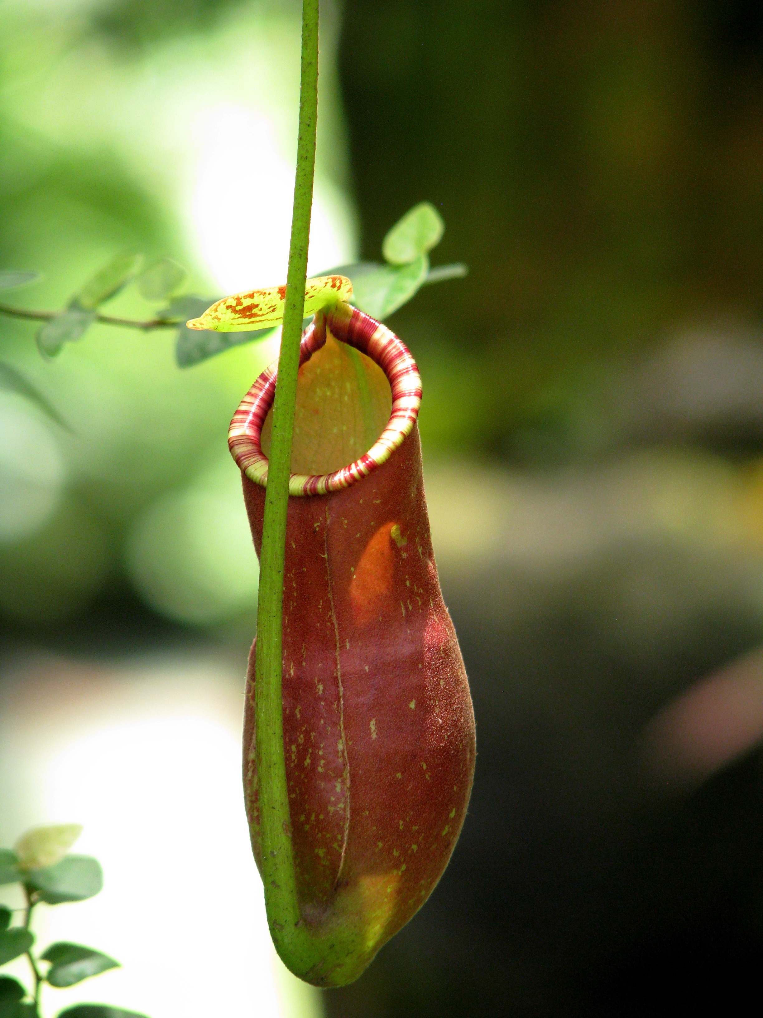 nepenthes basics how to grow nepenthes carnivorous pitcher plants html 1