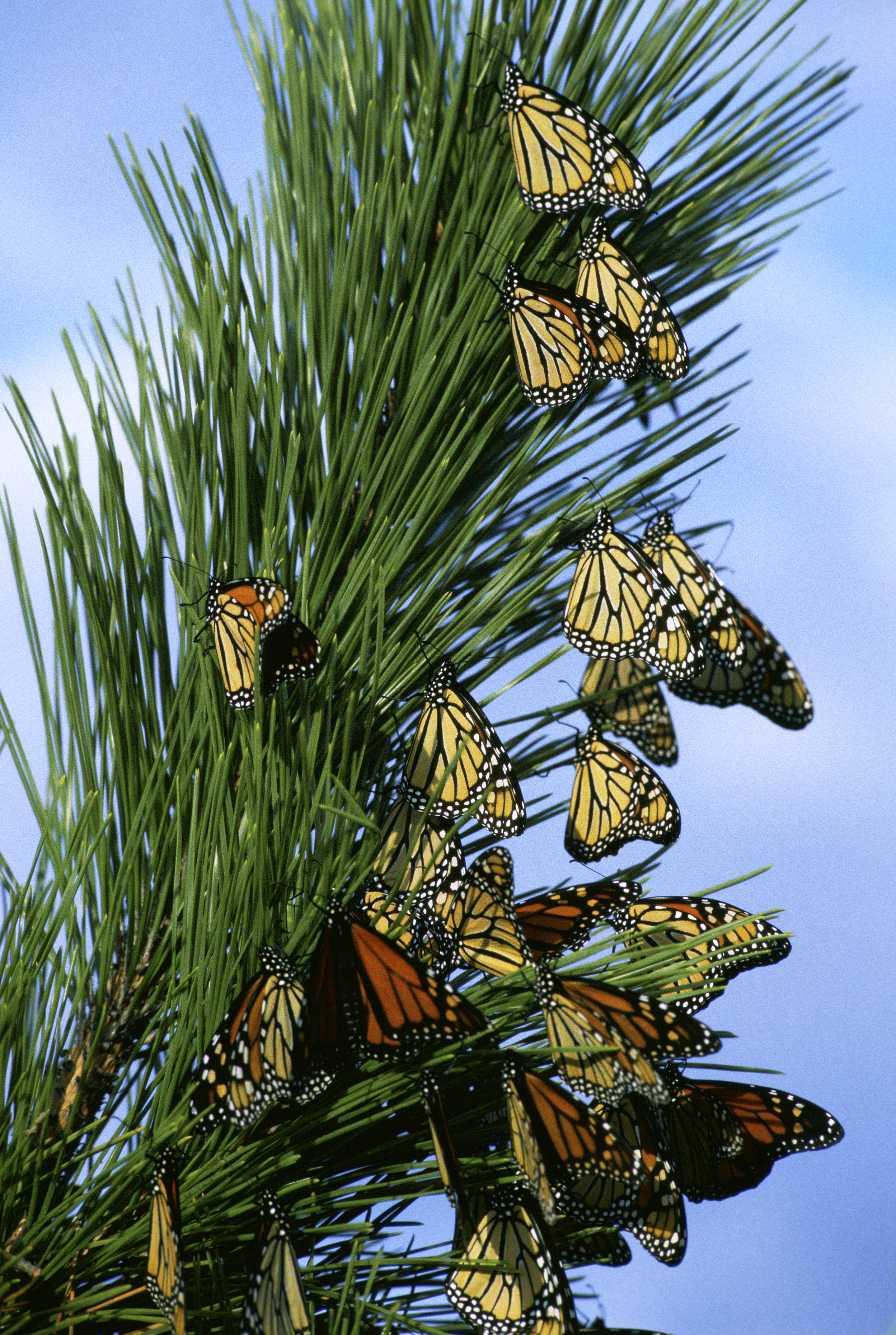 File Monarch Butterfly Migration