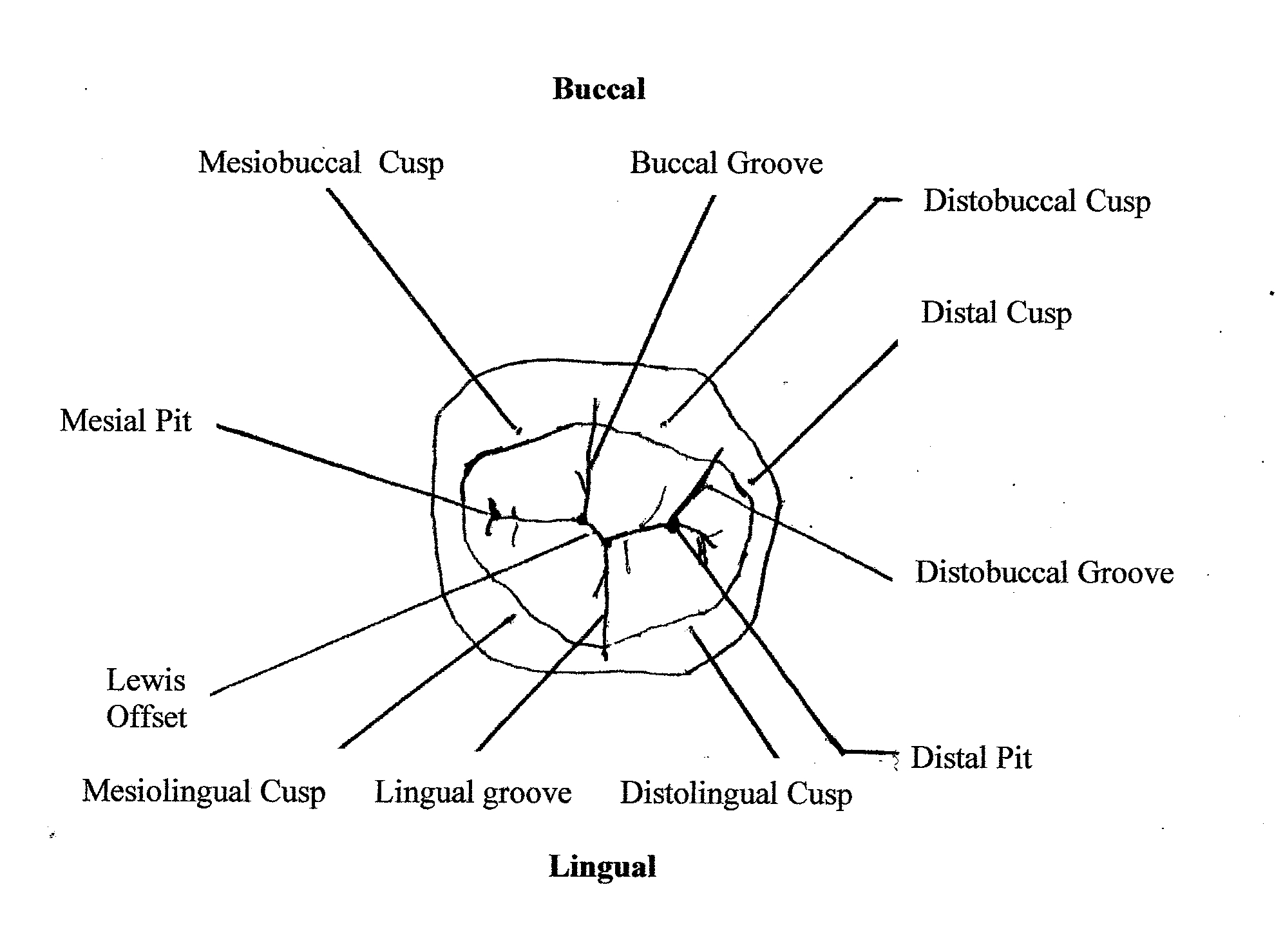 File Outline Drawing Mand1stmolar