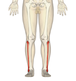split femur diagram [ 4500 x 4500 Pixel ]
