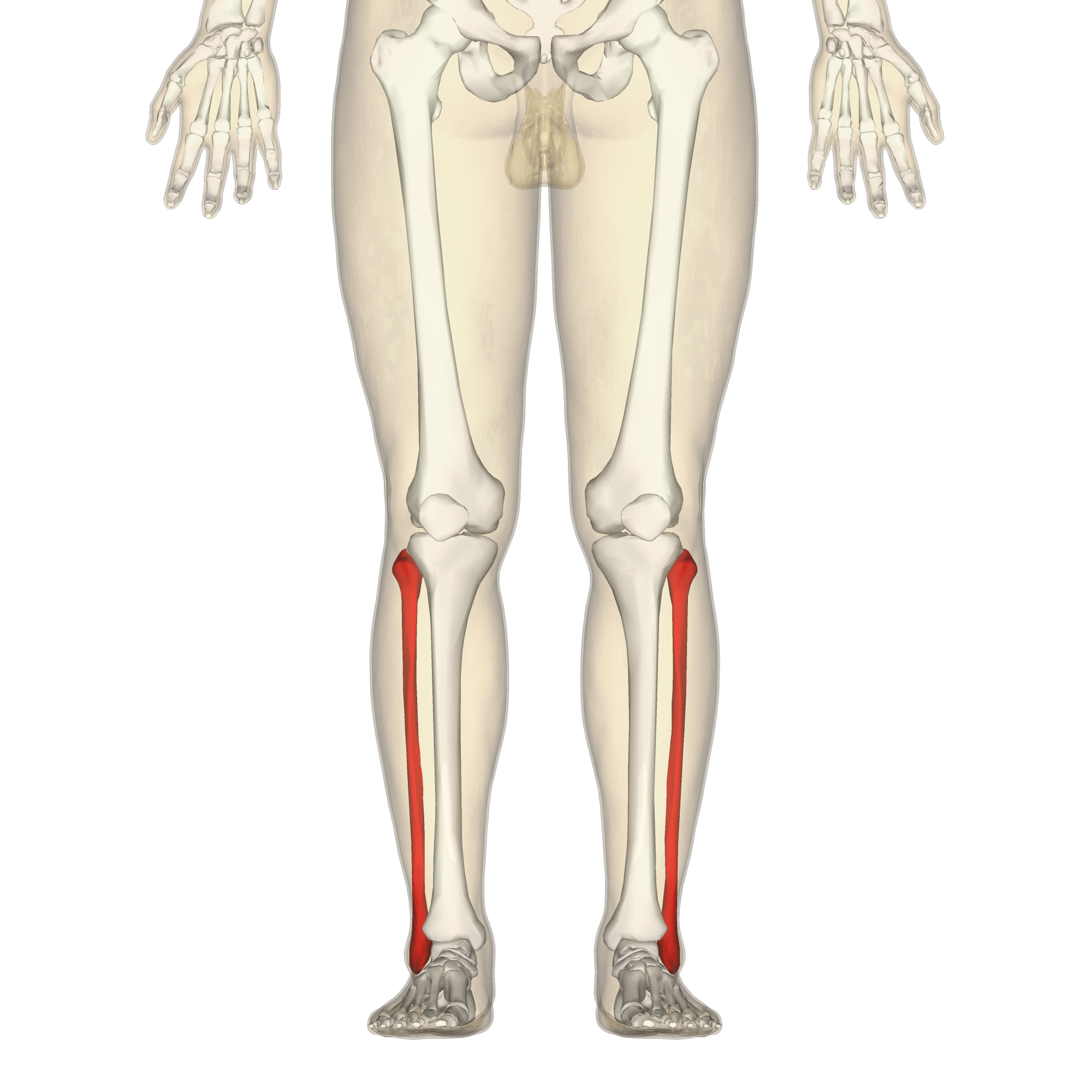 hight resolution of fibula diagram