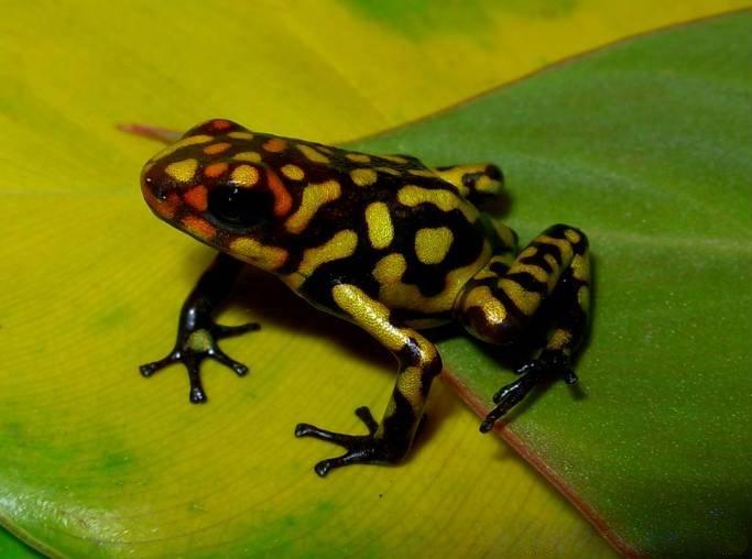 Harlequin poison frog  Wikipedia
