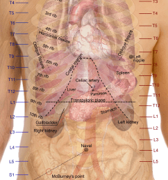 file surface projections of the organs of the trunk png [ 1050 x 1680 Pixel ]