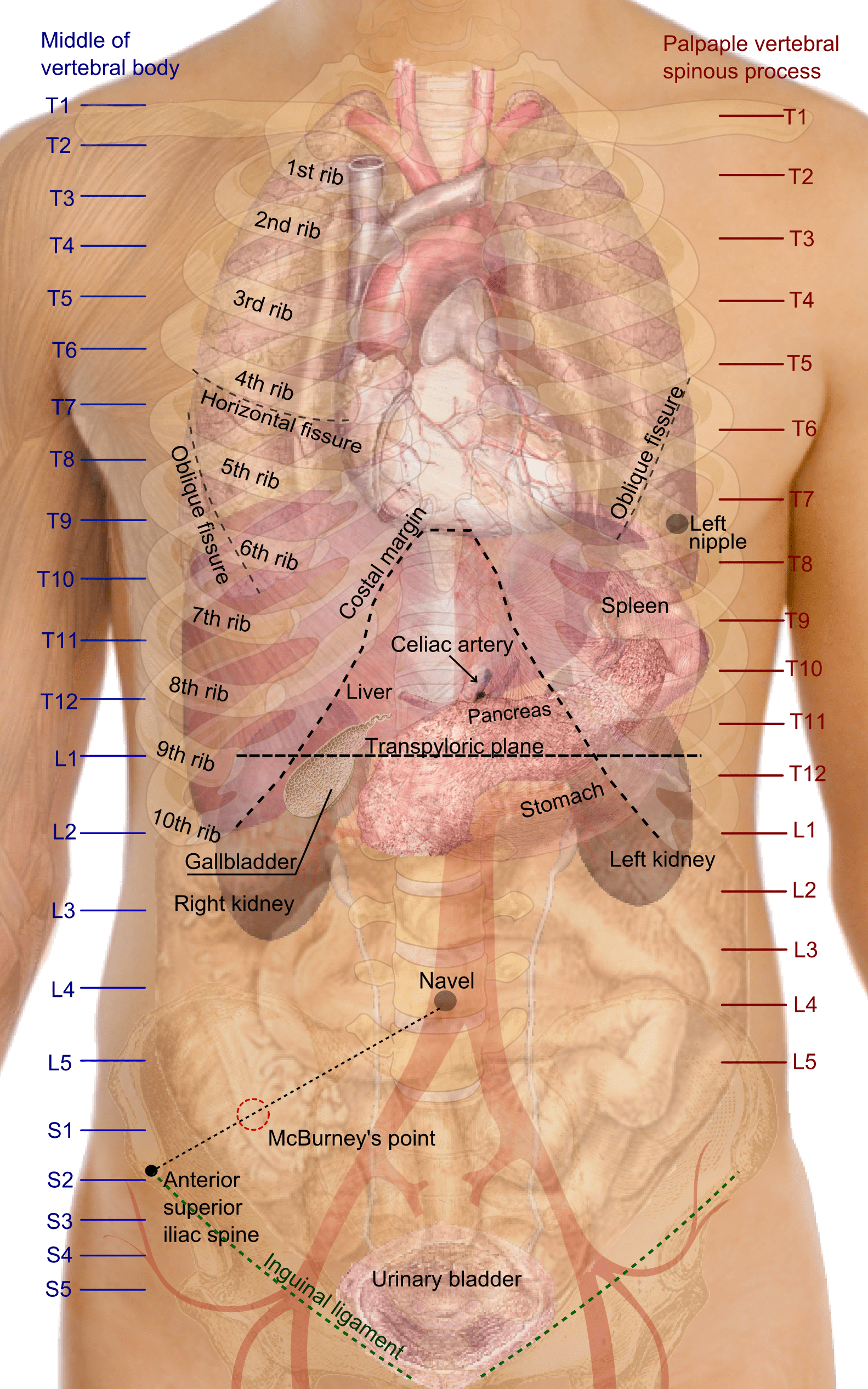 hight resolution of file surface projections of the organs of the trunk png