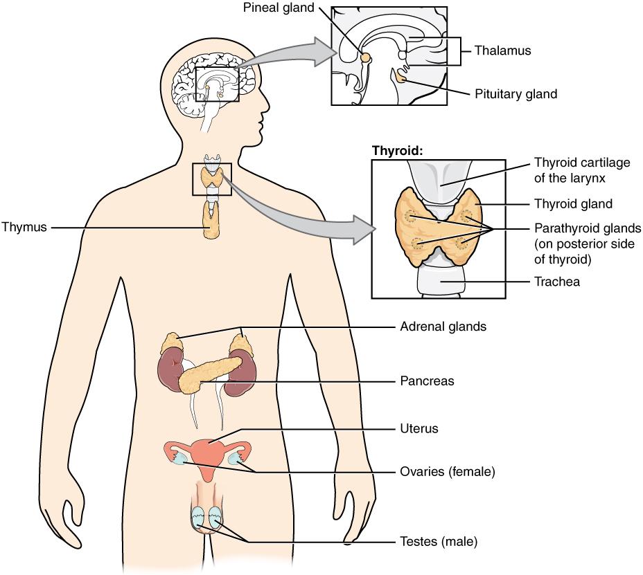fish diagram medical worksheet 1979 ct90 wiring adrenal gland - wikipedia