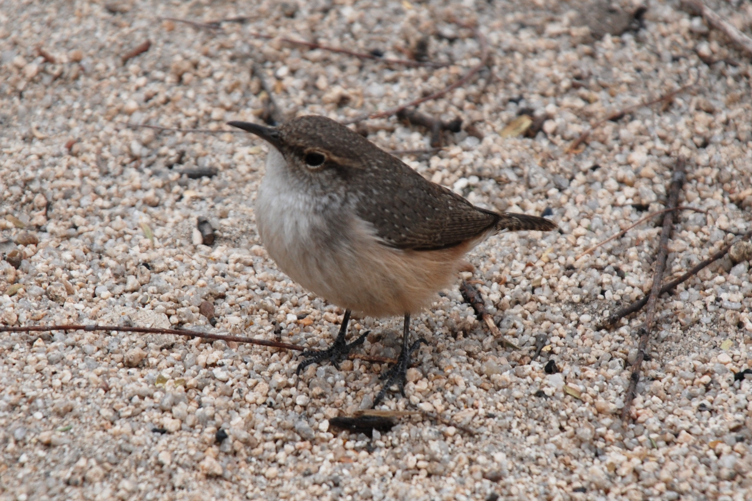 picture of a Rock Wren
