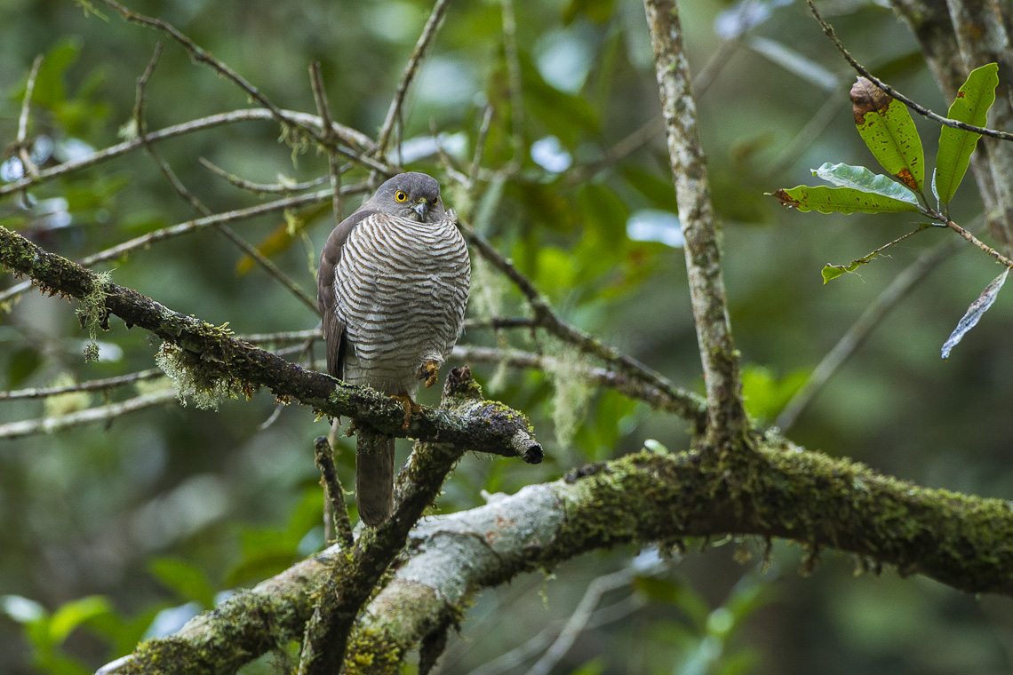 Madagascan sparrowhawk  Wikipedia