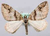 Pareulype berberata - Wikipedia