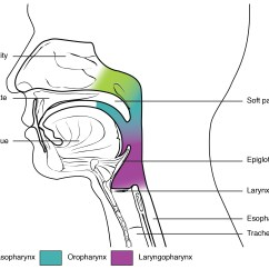 Parts Of The Throat Diagram Teeth Names Labeled Free Engine Image For User