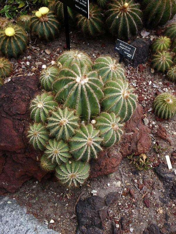 File Notocactus Magnificus Huntington Desert