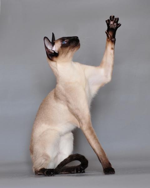 File:Siamese cat Vaillante.JPG