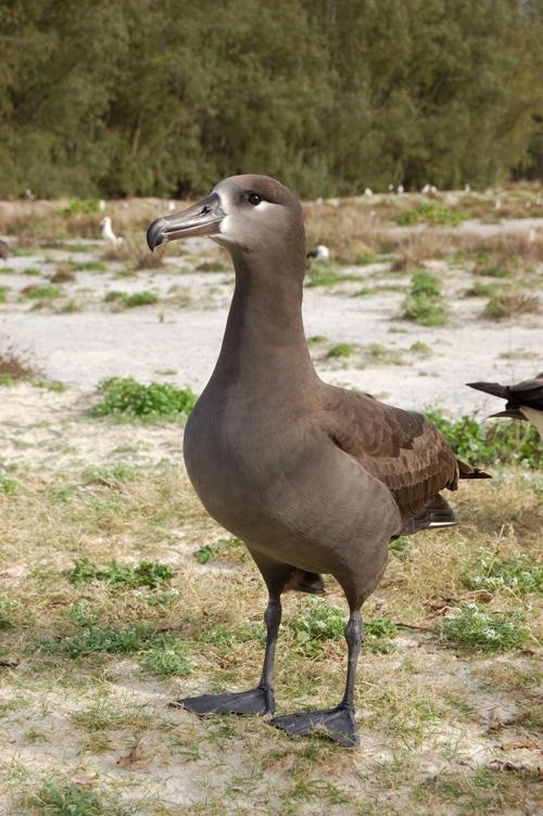 Burung Albatros : burung, albatros, Albatros, Kaki-hitam, Wikipedia, Bahasa, Indonesia,, Ensiklopedia, Bebas