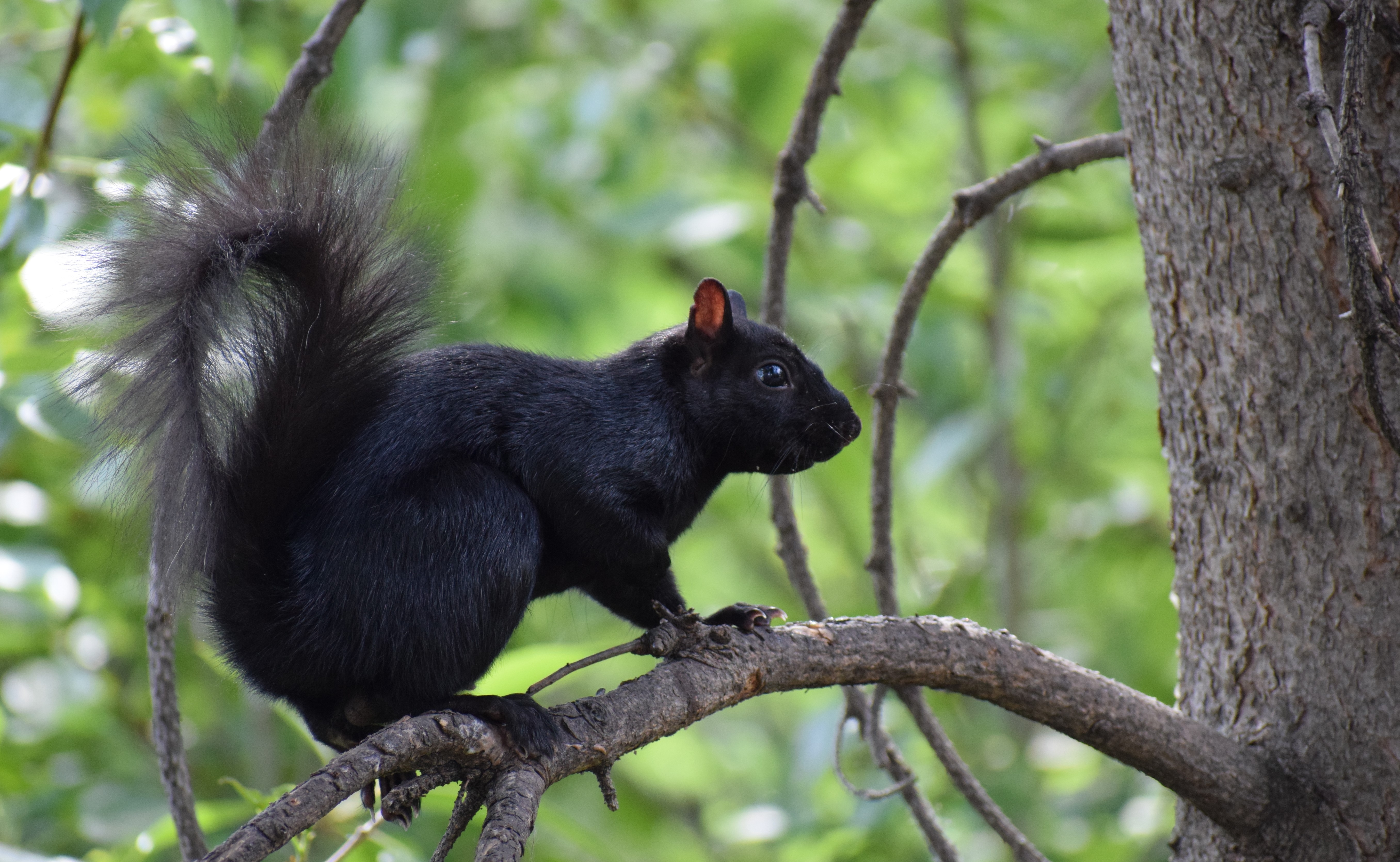black squirrel wikipedia