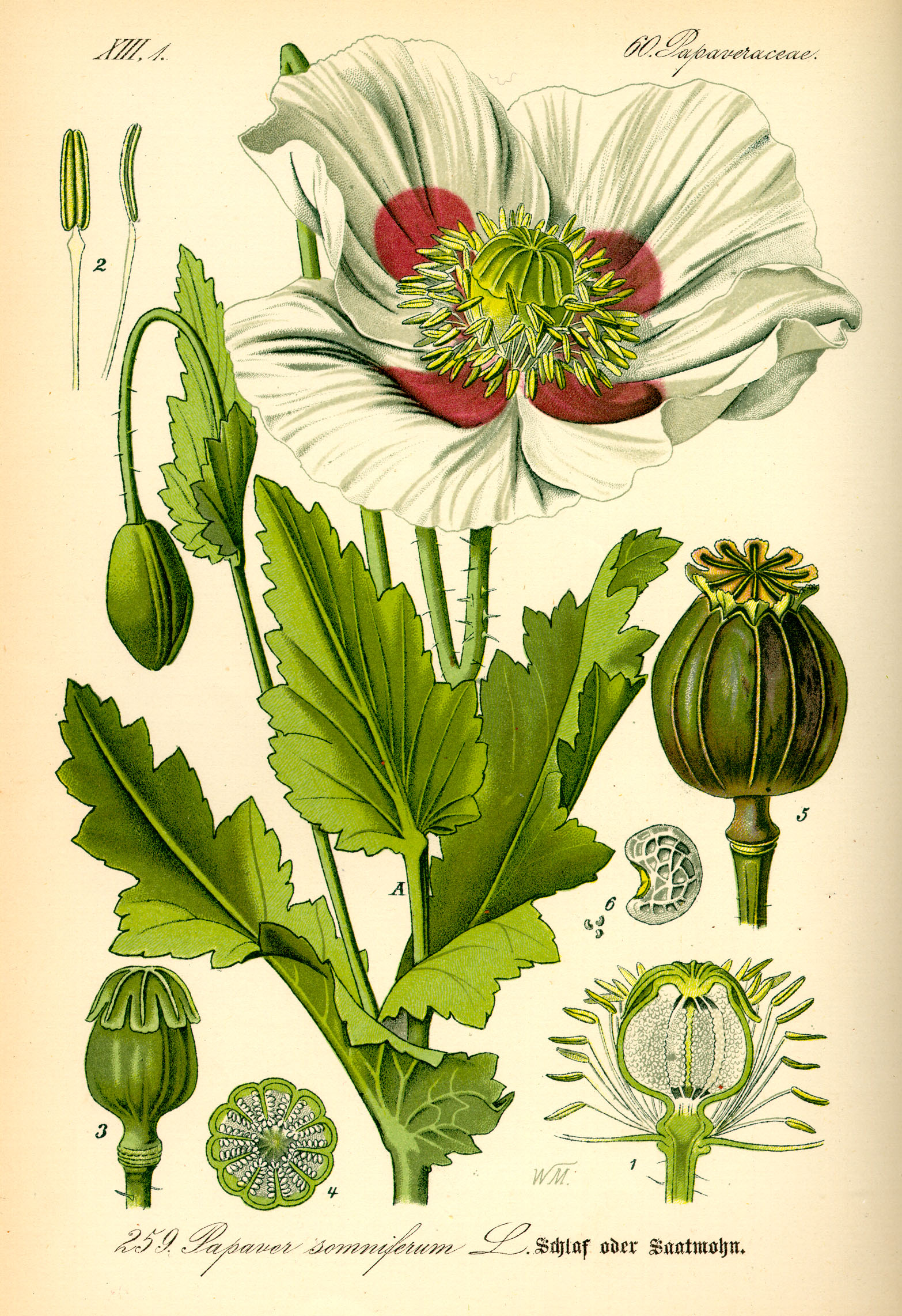 https://i0.wp.com/upload.wikimedia.org/wikipedia/commons/1/18/Illustration_Papaver_somniferum0.jpg