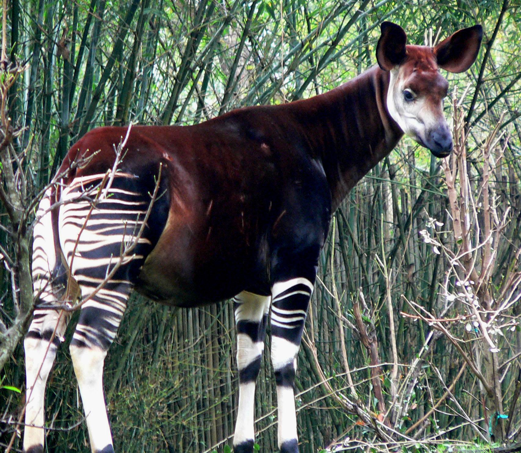 Okapi Wikipedia