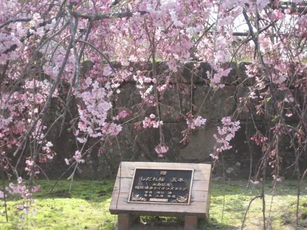 Gambar Wallpaper Bergerak Bunga Sakura Gudang Imgurl