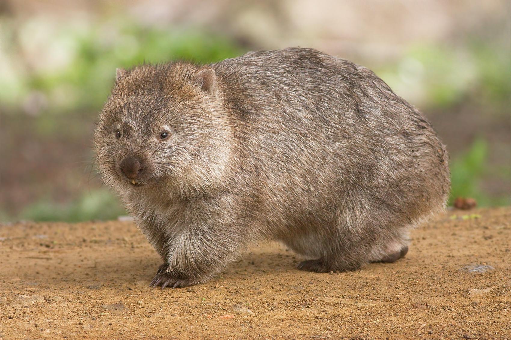 Common Wombat (Vombatus ursinus tasmaniensis) on Maria Island, Tasmania, Australia. By JJ Harrison (http://www.noodlesnacks.com/)