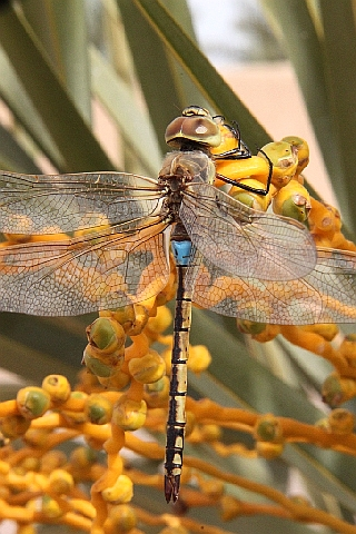 Vagrant emperor dragonfly