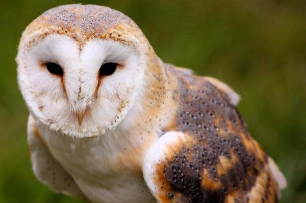 Opinions on Barn owl