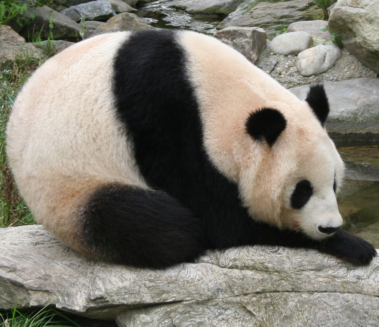 https://i0.wp.com/upload.wikimedia.org/wikipedia/commons/1/19/Giant_panda_at_Vienna_Zoo_%28cropped%29.jpg
