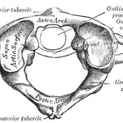 Cervical Vertebrae Diagram Pride Legend Mobility Scooter Wiring Atlas Anatomy Wikipedia Structure Of The First Vertebra