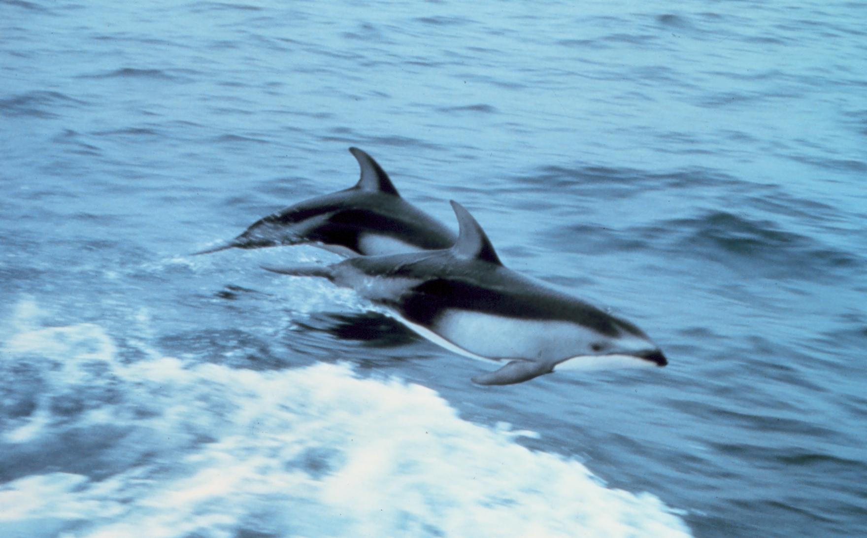 دلفين محيطي ويكيبيديا