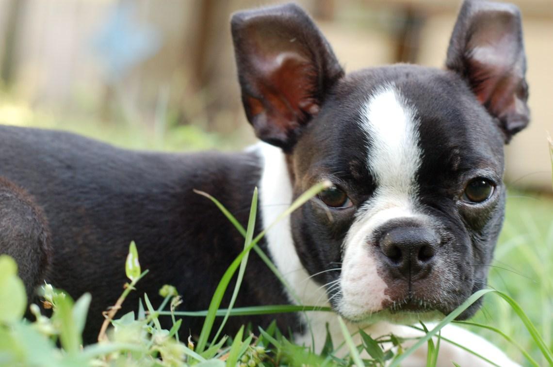 Boston Terrier Puppy 001 2008 Big Dog Pitbull
