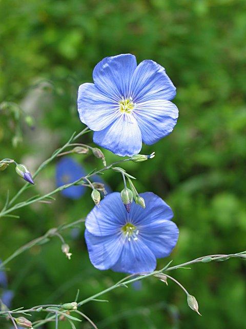 Leinen Flachspflanze Blüte