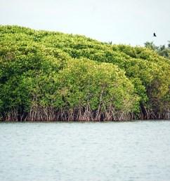 contoh aliran energi dan rantai makanan pada ekosistem mangrove  [ 1504 x 1000 Pixel ]