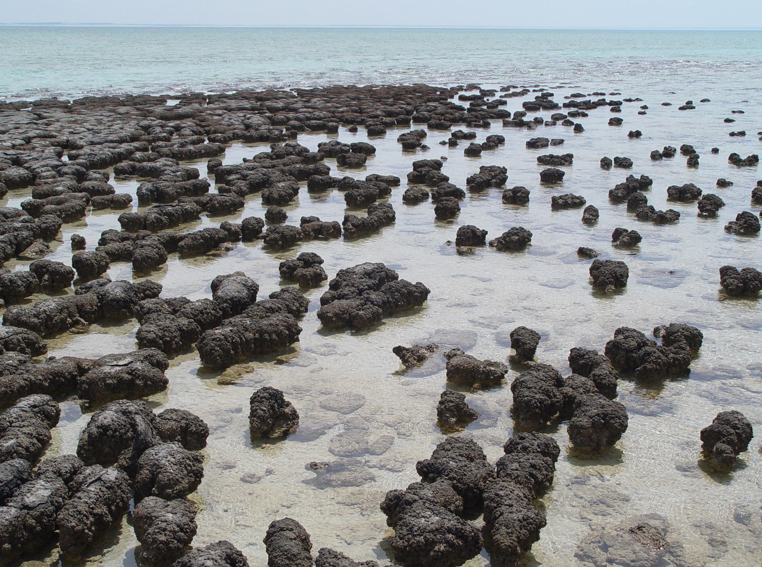 Estromatolitos actuales en la Bahía Shark, Australia.