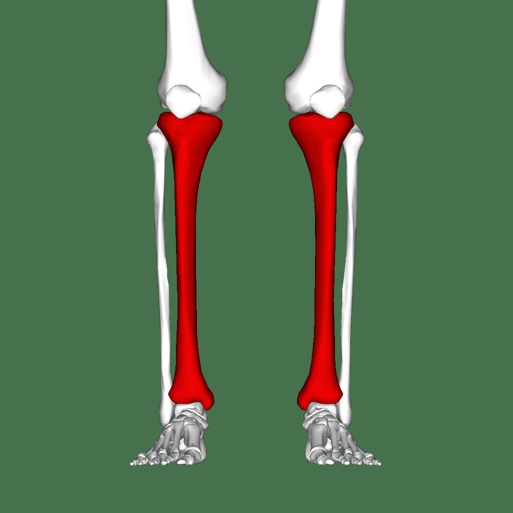 medium resolution of unlabeled leg diagram