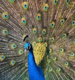 indian peacock in full display [ 2560 x 1920 Pixel ]
