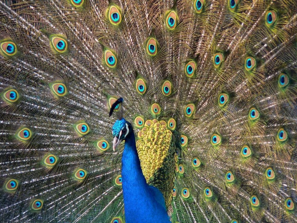 medium resolution of indian peacock in full display