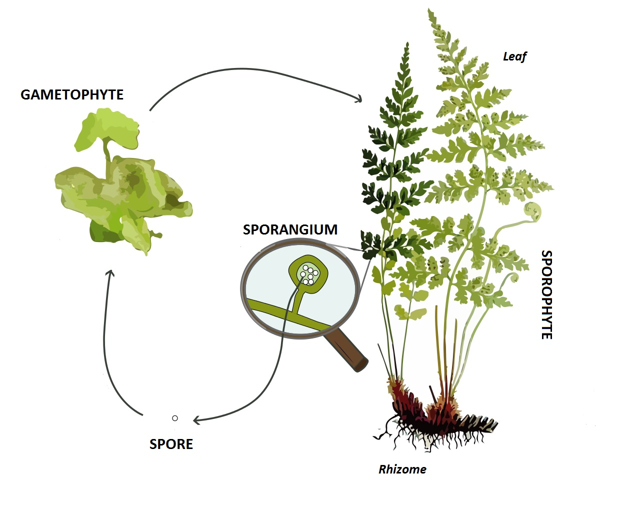 hight resolution of life cycle of a pteridophyte