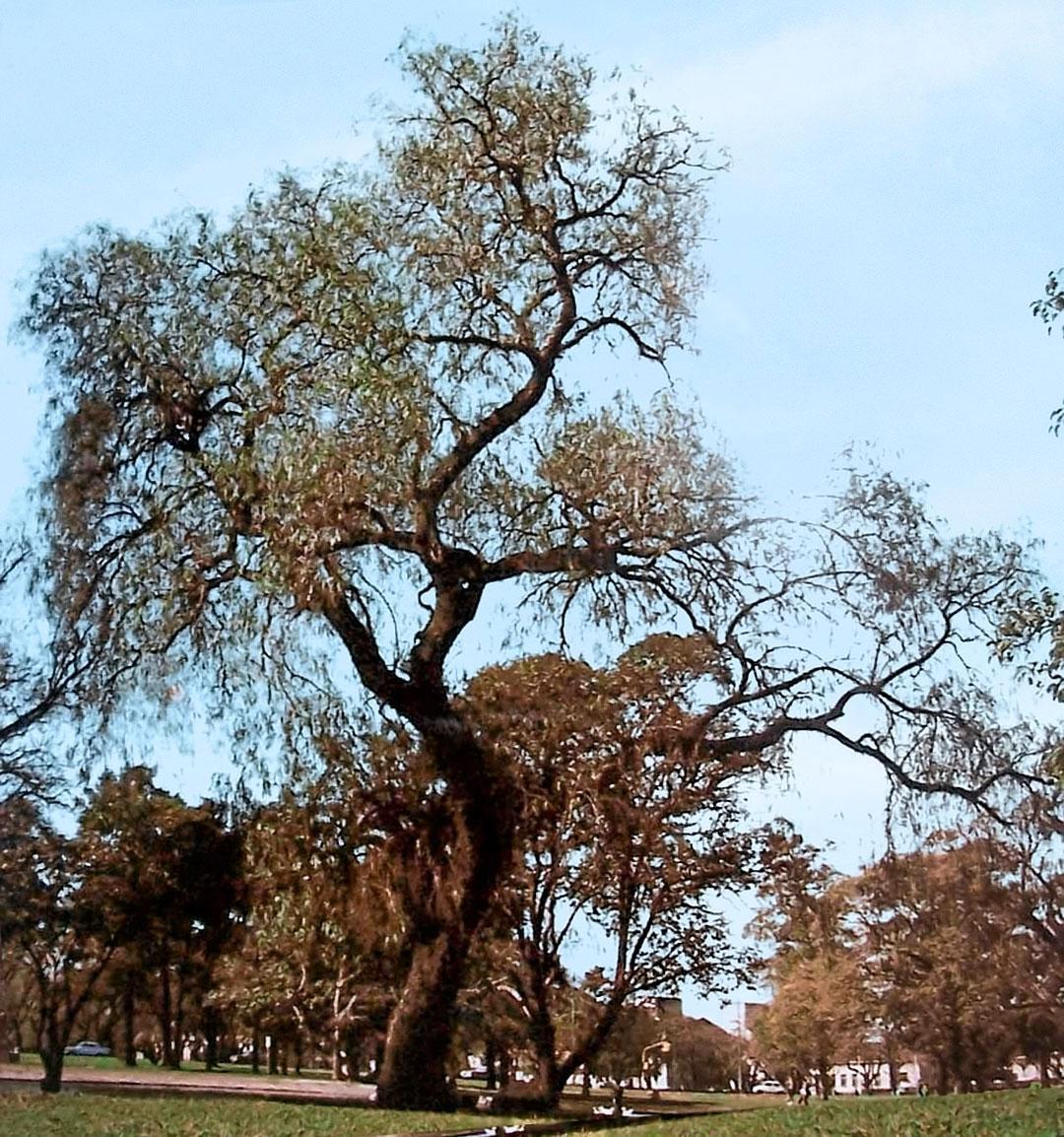 Schinus areira  Wikipedia la enciclopedia libre